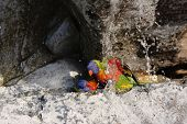 stock photo of lorikeets  - Two Rainbow Lorikeet in the Fontain Water - JPG