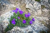 foto of harebell  - Purple bluebell flowers on a mountain rock  - JPG