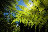 picture of fern  - A new zealand fern in a lush forest up close - JPG