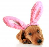 image of bunny costume  - Irish Setter puppy wearing Easter bunny ears - JPG