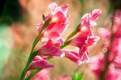 stock photo of gladiolus  - pink colour Gladiolus flowers in the garden - JPG