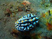 image of slug  - The surprising underwater world of the Bali basin - JPG