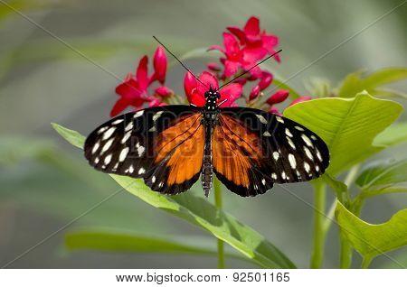 Orange Longwing