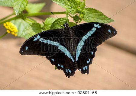 Black Sapphire Butterfly
