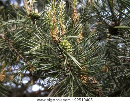 Pine Branch  In The Spring