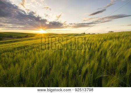 sunset over a field of waving grain