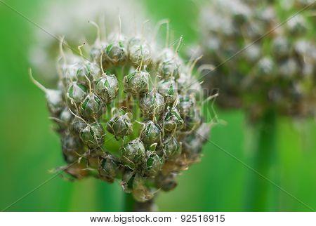 Garlic Head Flower