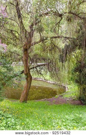Willow Tree Park Near The Pond