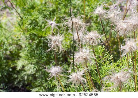 Greater Pasque Flower (pulsatilla Grandis)