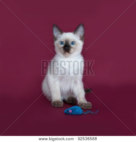 Thai White Kitten Sitting On Burgundy