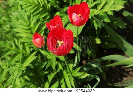 Beautiful color tulips over flowerbed background