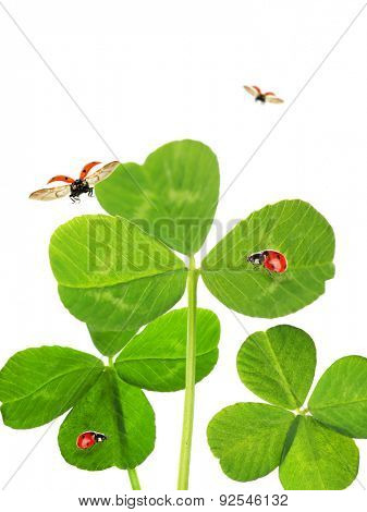 Green clover leaves with ladybirds, isolated on white