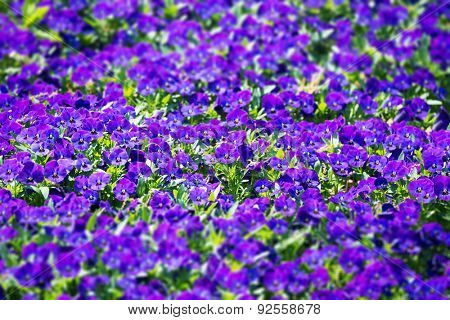 Garden of deep violet or purple pansy flowers. Shallow depth of field.