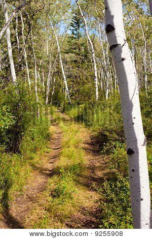 Trail In Aspen Forest
