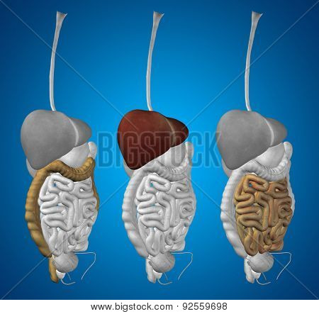 Concept or conceptual anatomical human or man 3D set or collection of digestive system on blue background