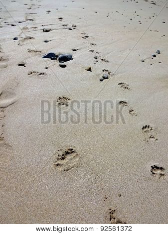 Footprint Of A Human And A Dog At Toulinguet Beach In France, 2014