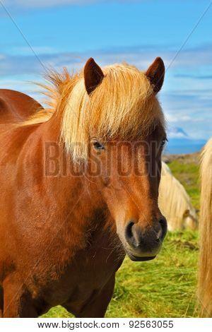 Portrait of bay horse with  light mane. Warm summer day in Iceland. Green lawn on the shores of the fjord