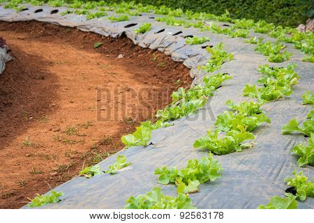 Lettuce Vegetables In Field