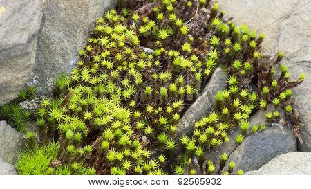 Polytrichum Moss. Green and Brown Moss. Sandstone Rocks.