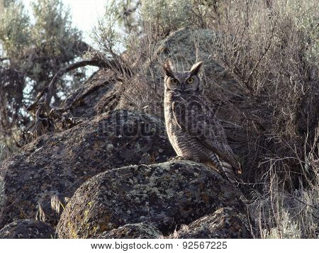 Great Horned Owl Perched on a Boulder