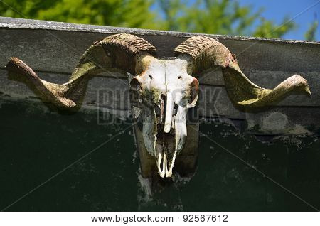 Mountain Goat Skull Close-up