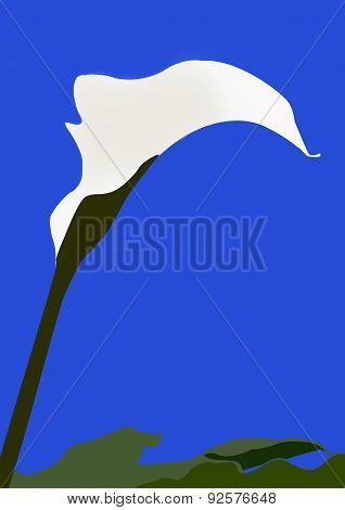 Single Arum Lily With Leaves Illustration