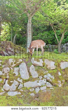 Sika Deer (cervus Nippon) On Itsukushima Island, Japan