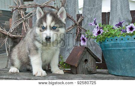 Husky Blues