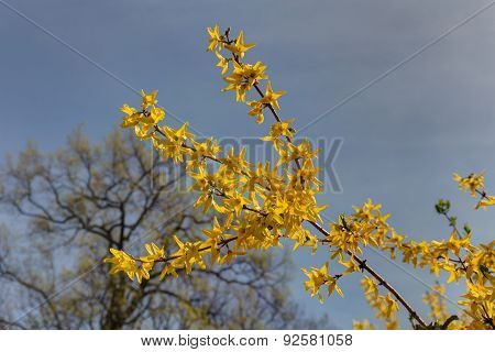Forsythia Blooming In The Spring