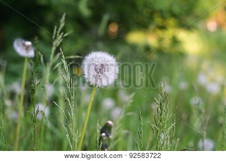 White Flower Of Dandelion Against A Grass