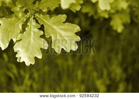 Big Leaves Of An Oak Against A Grass