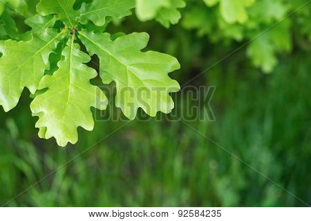 Big Green Leaves Of An Oak Against A Grass