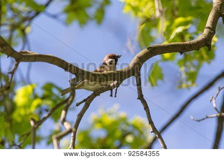 Sparrow In Spring