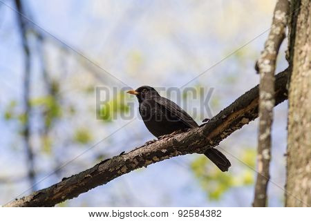 Blackbird On A Tree Branch