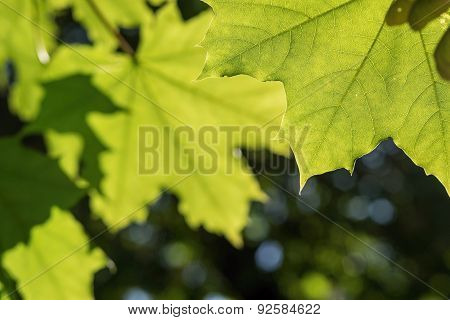 Green Leaves Of A Maple Closeup