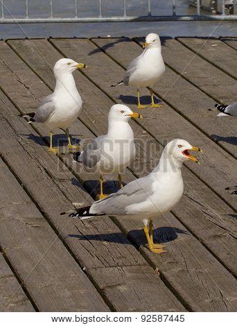 Four Gulls Different Reaction