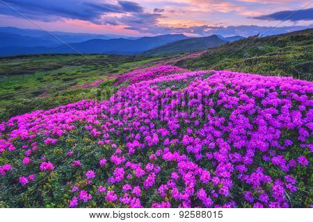 Colorful summer sunset in the Carpathian mountains. Fields of blossom rhododendrons in the evening mist. Chornohora ridge, Ukraine, Europe.