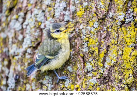 Young blue tit hanging at oak tree trunk