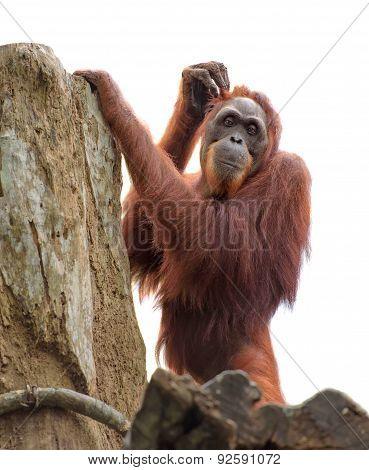 Adult Orangutan Scratching Its Head