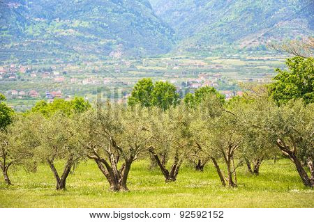 Olive plantation at the foot of Mount Olympus, Greece