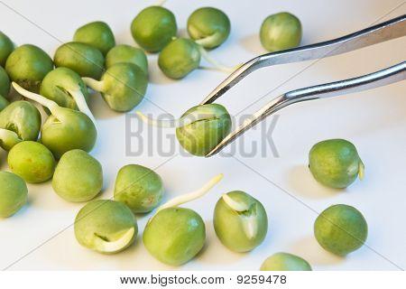 Germinated Peas