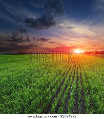 Sunset over young green sprouts on crop field