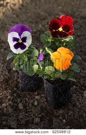 Group Of Pansy Flowers N Pots On Ground