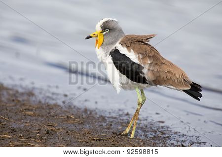 White Crowned Lapwing Forage For Insects Along Shore Of A Lake