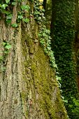 picture of ivy  - Tree trunk covered with ivy and moss - JPG