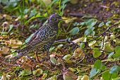 image of grass bird  - Handsome young nestling starling bird standing on the grass under a tree - JPG