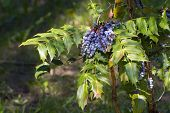 picture of aquifolium  - Blue berries of Oregon grape  - JPG