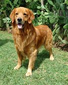 picture of golden retriever puppy  - pure breed golden retriever standing up posing - JPG