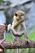 picture of macaque  - Macaque monkeys in the savanna park Yala - JPG