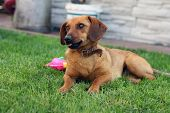 pic of dachshund  - young brown dachshund on the lawn young  grass - JPG